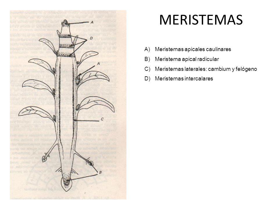 MERISTEMAS A)Meristemas apicales caulinares B)Meristema apical radicular C)Meristemas laterales: cambium y felógeno D)Meristemas intercalares
