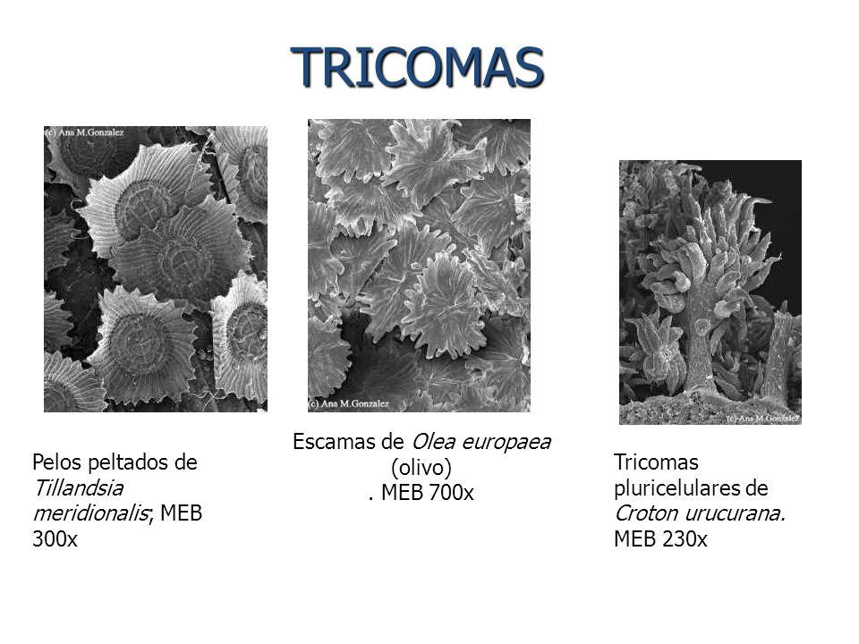Tricomas pluricelulares de Croton urucurana. MEB 230x Pelos peltados de Tillandsia meridionalis; MEB 300x Escamas de Olea europaea (olivo). MEB 700x T