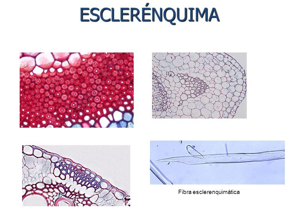 ESCLERÉNQUIMA ESCLERÉNQUIMA Fibra esclerenquimática