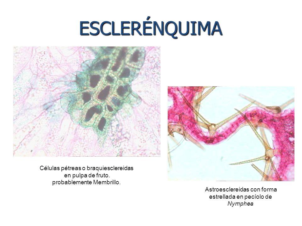 Células pétreas o braquiesclereidas en pulpa de fruto. probablemente Membrillo. Astroesclereidas con forma estrellada en pecíolo de Nymphea ESCLERÉNQU