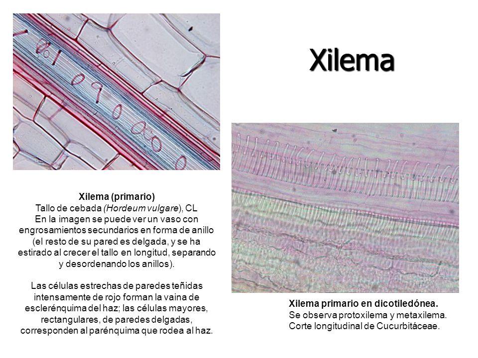 Xilema primario en dicotiledónea. Se observa protoxilema y metaxilema. Corte longitudinal de Cucurbitáceae. Xilema (primario) Tallo de cebada (Hordeum