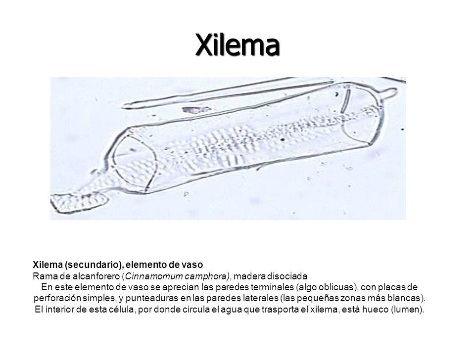 Xilema (secundario), elemento de vaso Rama de alcanforero (Cinnamomum camphora), madera disociada En este elemento de vaso se aprecian las paredes ter