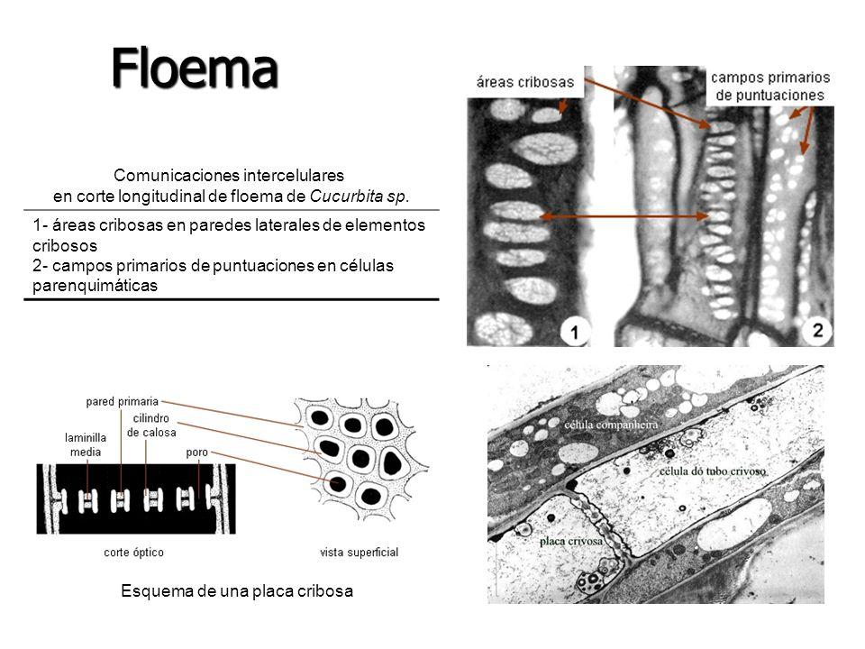 Esquema de una placa cribosa Comunicaciones intercelulares en corte longitudinal de floema de Cucurbita sp. 1- áreas cribosas en paredes laterales de