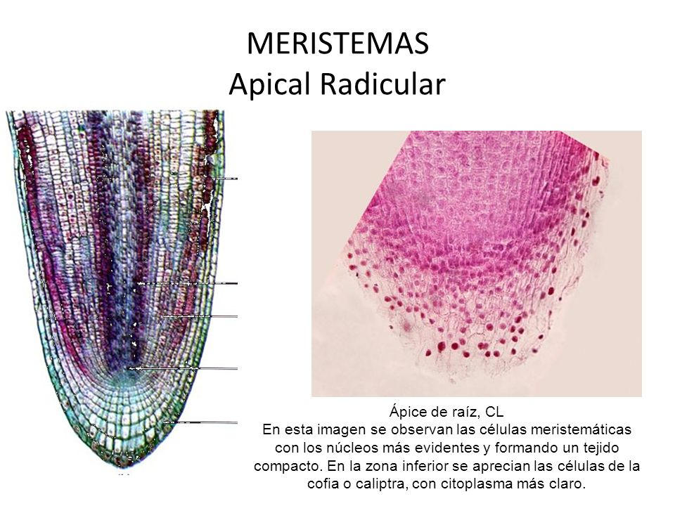 MERISTEMAS Apical Radicular Ápice de raíz, CL En esta imagen se observan las células meristemáticas con los núcleos más evidentes y formando un tejido