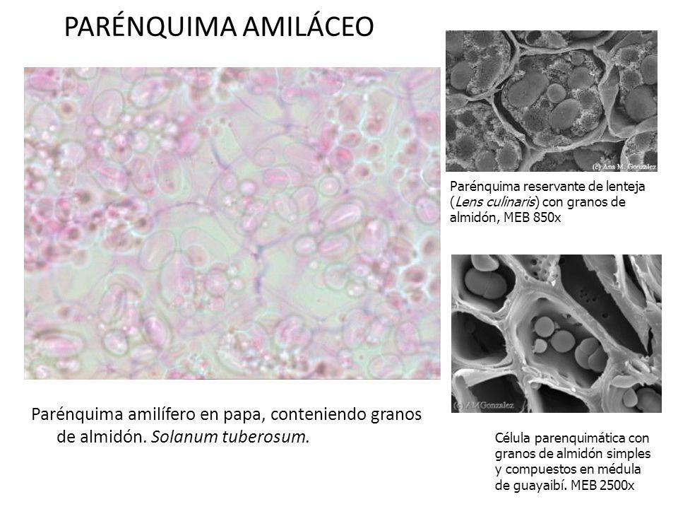 PARÉNQUIMA AMILÁCEO Parénquima amilífero en papa, conteniendo granos de almidón. Solanum tuberosum. Parénquima reservante de lenteja (Lens culinaris)