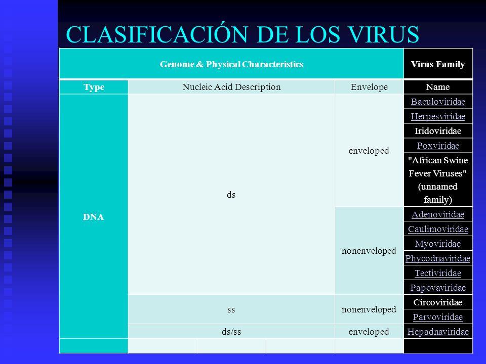 CLASIFICACIÓN DE LOS VIRUS Genome & Physical CharacteristicsVirus Family TypeNucleic Acid DescriptionEnvelopeName DNA ds enveloped Baculoviridae Herpe