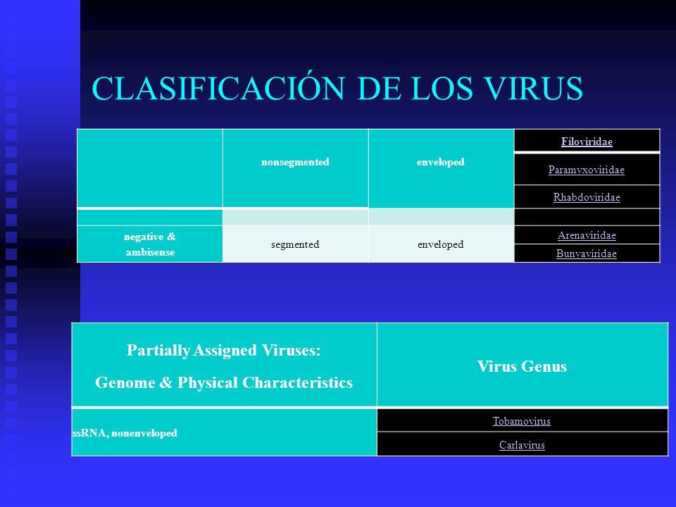 CLASIFICACIÓN DE LOS VIRUS nonsegmented Filoviridae enveloped Paramyxoviridae Rhabdoviridae negative & ambisense segmentedenveloped Arenaviridae Bunya