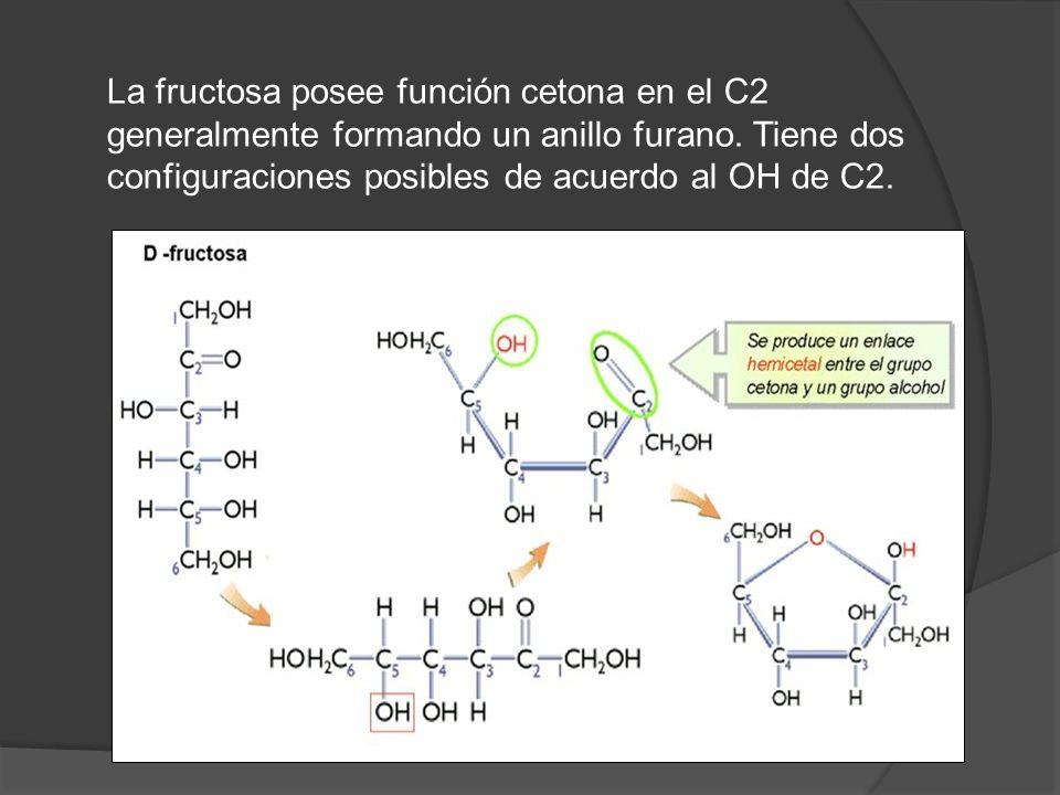 La fructosa posee función cetona en el C2 generalmente formando un anillo furano. Tiene dos configuraciones posibles de acuerdo al OH de C2.