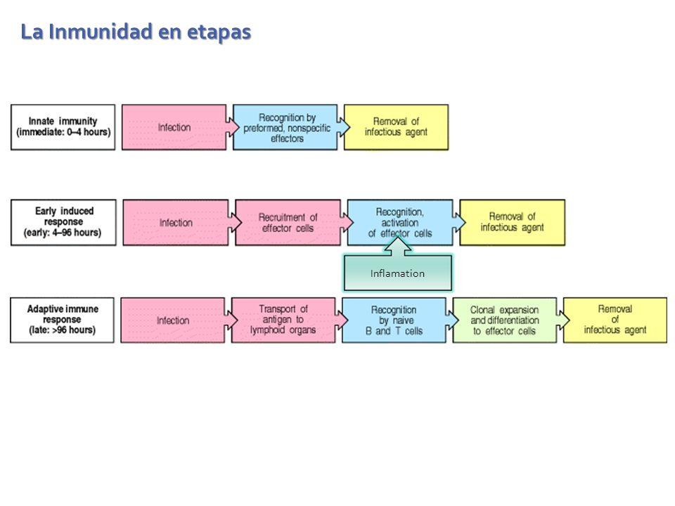 La Inmunidad en etapas Inflamation