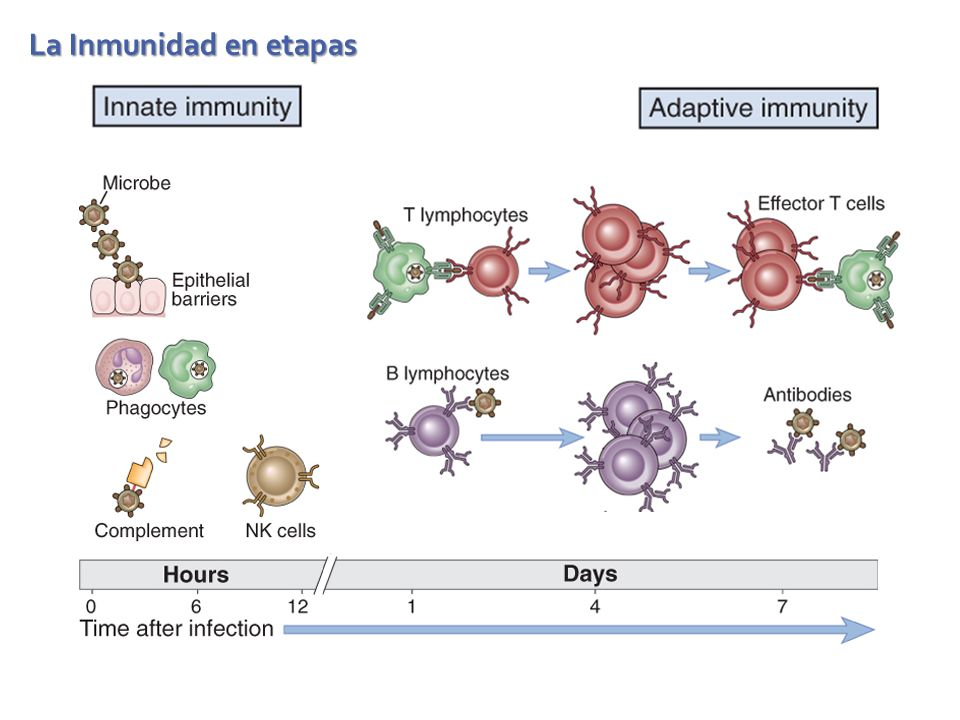 Fases de las respuestas inmunitarias adaptativas