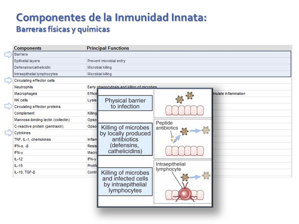 Componentes de la Inmunidad Innata: Células efectoras circulantes