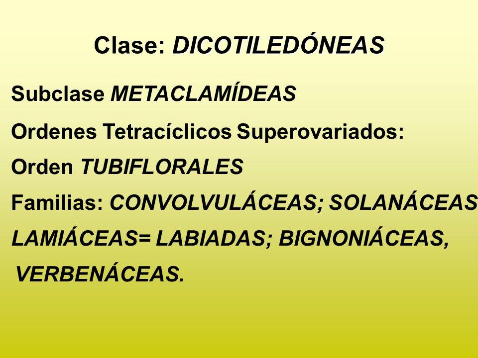 DICOTILEDÓNEAS Clase: DICOTILEDÓNEAS Subclase METACLAMÍDEAS Ordenes Tetracíclicos Superovariados: Orden TUBIFLORALES Familias: CONVOLVULÁCEAS; SOLANÁCEAS; LAMIÁCEAS= LABIADAS; BIGNONIÁCEAS, VERBENÁCEAS.