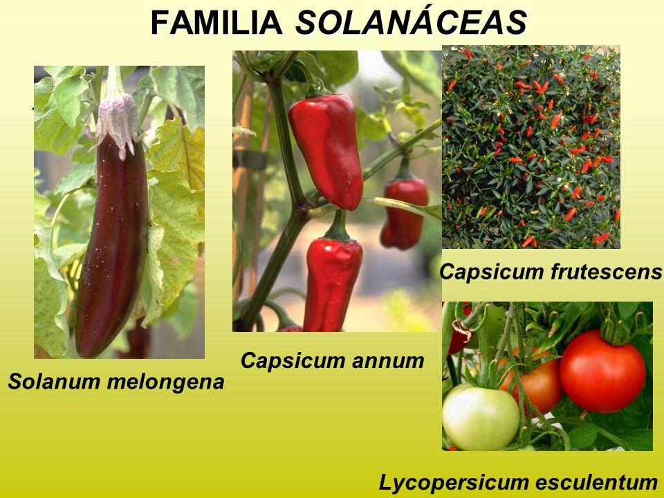 FAMILIA SOLANÁCEAS. Lycopersicum esculentum Solanum melongena Capsicum annum Capsicum frutescens