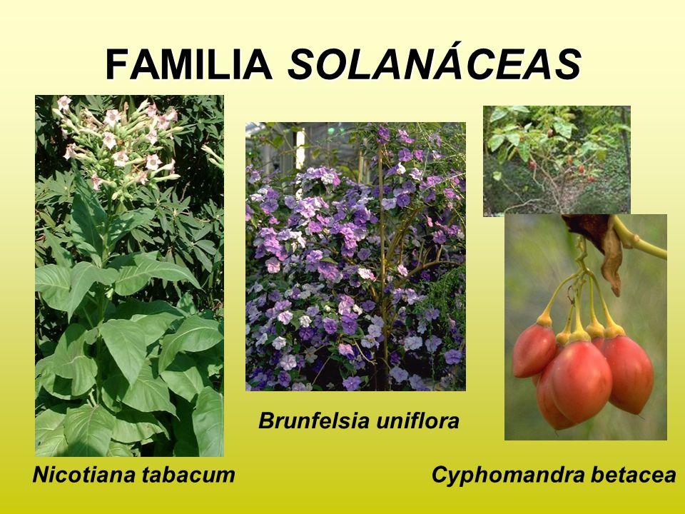FAMILIA SOLANÁCEAS Brunfelsia uniflora Cyphomandra betaceaNicotiana tabacum