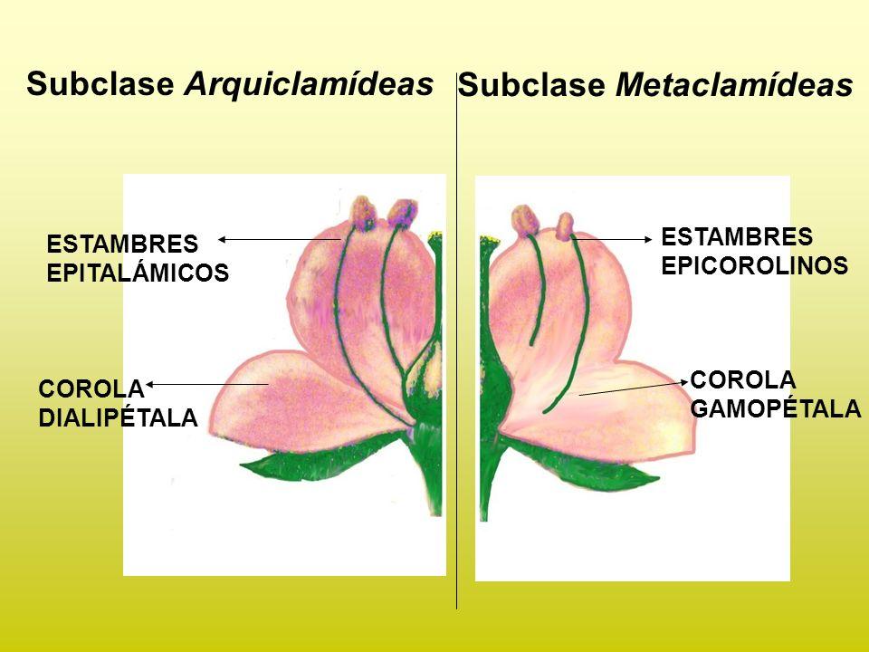 ORDEN TUBIFLORALES Flores actinomorfas o zigomorfas.
