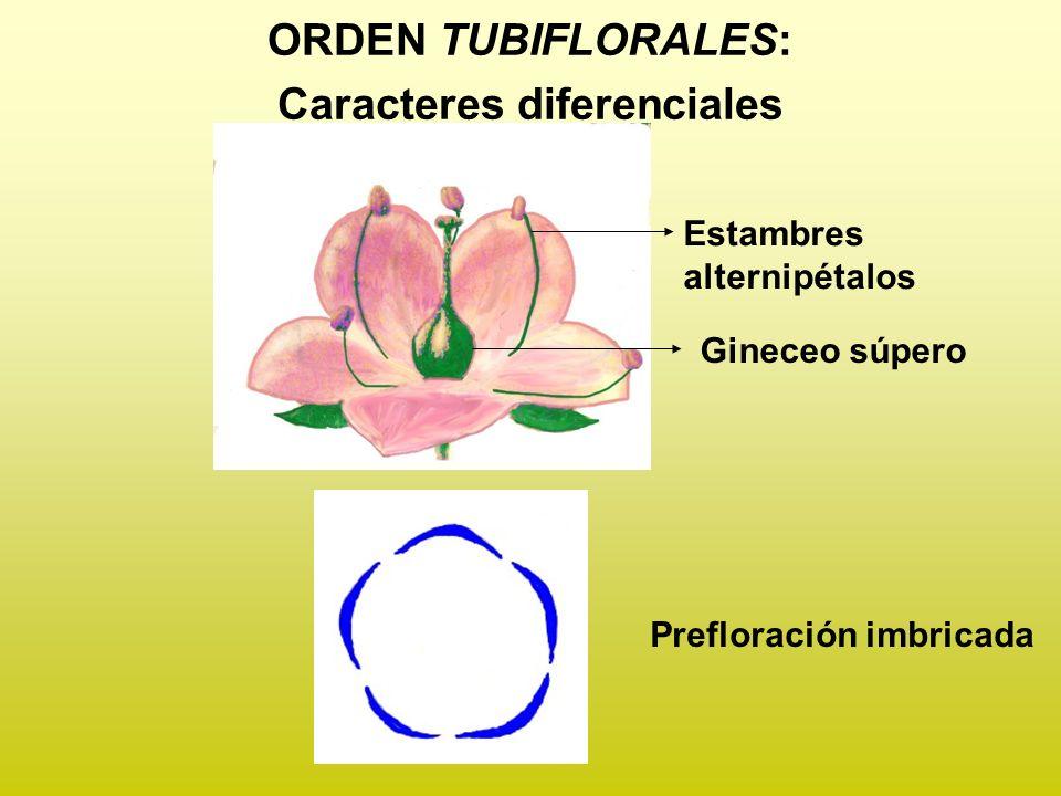 ORDEN TUBIFLORALES: Caracteres diferenciales Gineceo súpero Estambres alternipétalos Prefloración imbricada