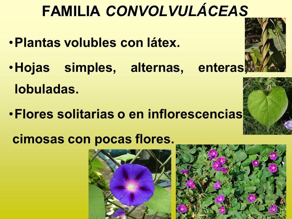 Flores cíclicas, actinomorfas, hermafroditas, cáliz con 5 sépalos soldados, corola con 5 pétalos soldados, infundibuliforme o acampanada.