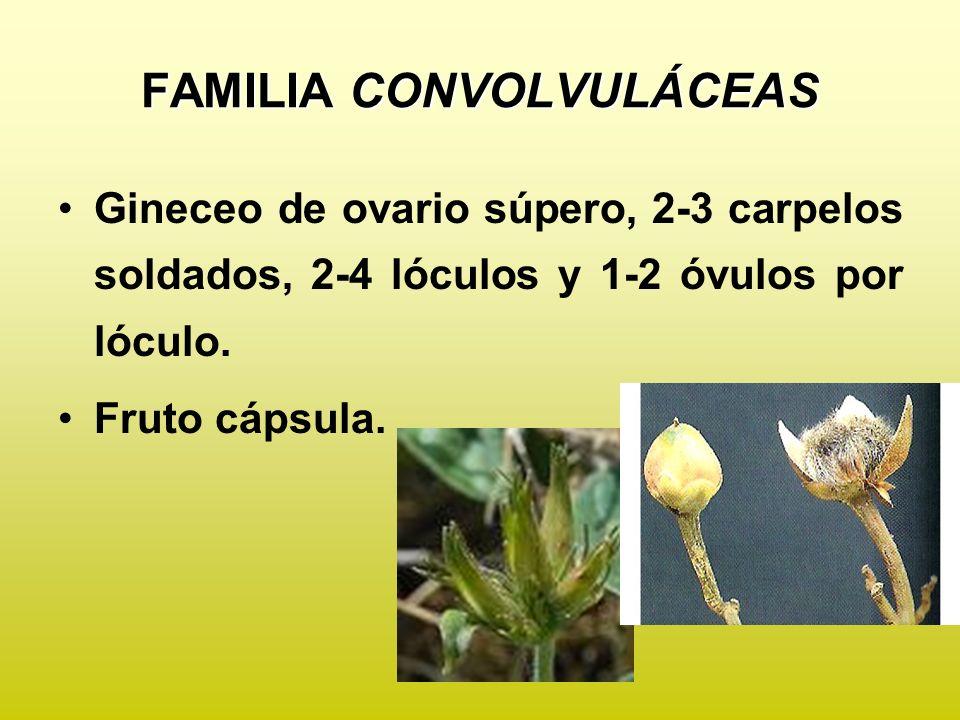 FAMILIA CONVOLVULÁCEAS Ejemplos de importancia agronómica Ipomoea batatas Ipomoea purpurea Ipomoea alba