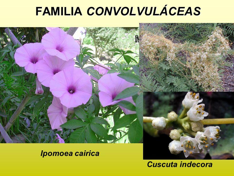 Ipomoea cairica Cuscuta indecora FAMILIA CONVOLVULÁCEAS