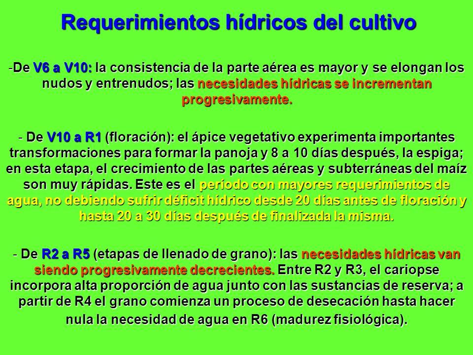 Requerimientos hídricos del cultivo -De V6 a V10: la consistencia de la parte aérea es mayor y se elongan los nudos y entrenudos; las necesidades hídr