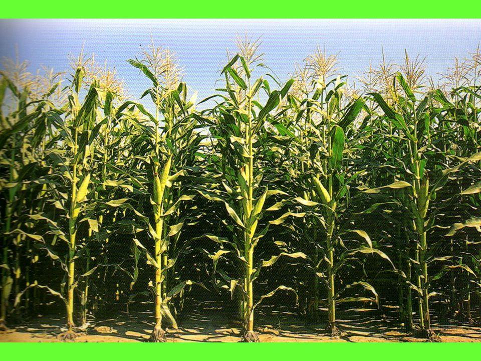 Índice de Cosecha El Rendimiento deriva de la relación Fuente – Destino y queda determinado por la forma en que el cultivo asigna o particiona la biomasa acumulada durante su crecimiento, entre el órgano de cosecha (espiga) y el resto de la planta.