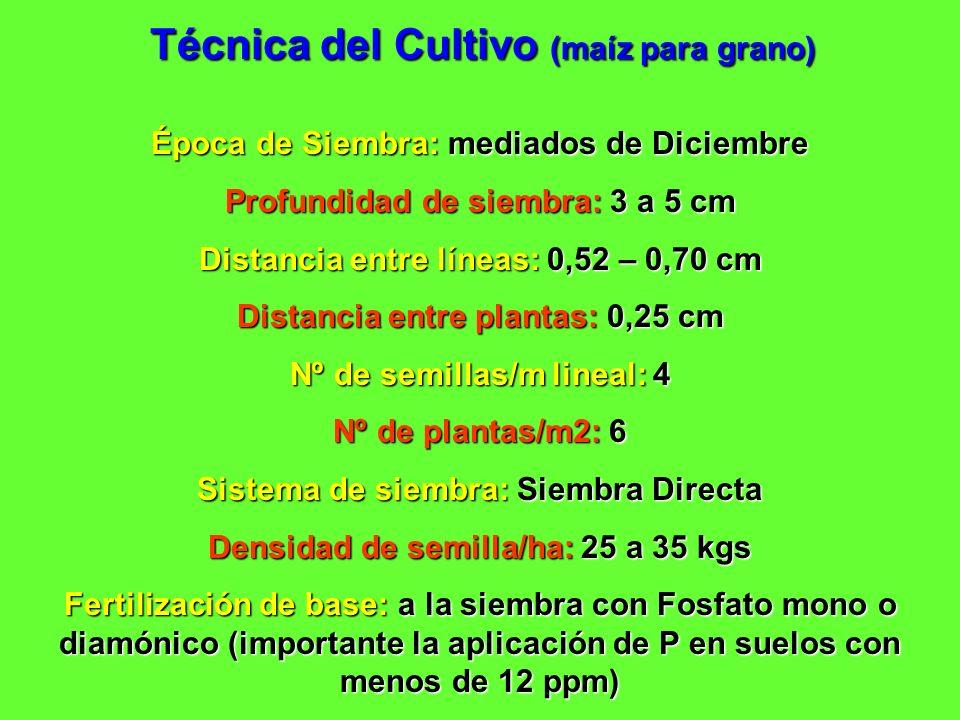 Técnica del Cultivo (maíz para grano) Época de Siembra: mediados de Diciembre Profundidad de siembra: 3 a 5 cm Distancia entre líneas: 0,52 – 0,70 cm