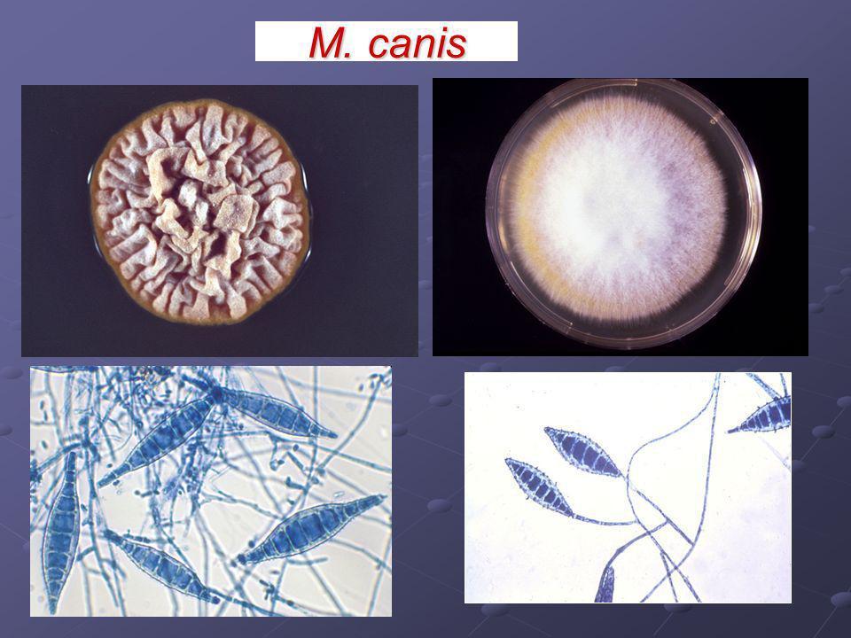 Macroconidios: paredes gruesas, rugosas, fusiformes de tamaño variable, multiseptados (1-15 septos), Microconidios: - sésiles, pedicilados o clavados,