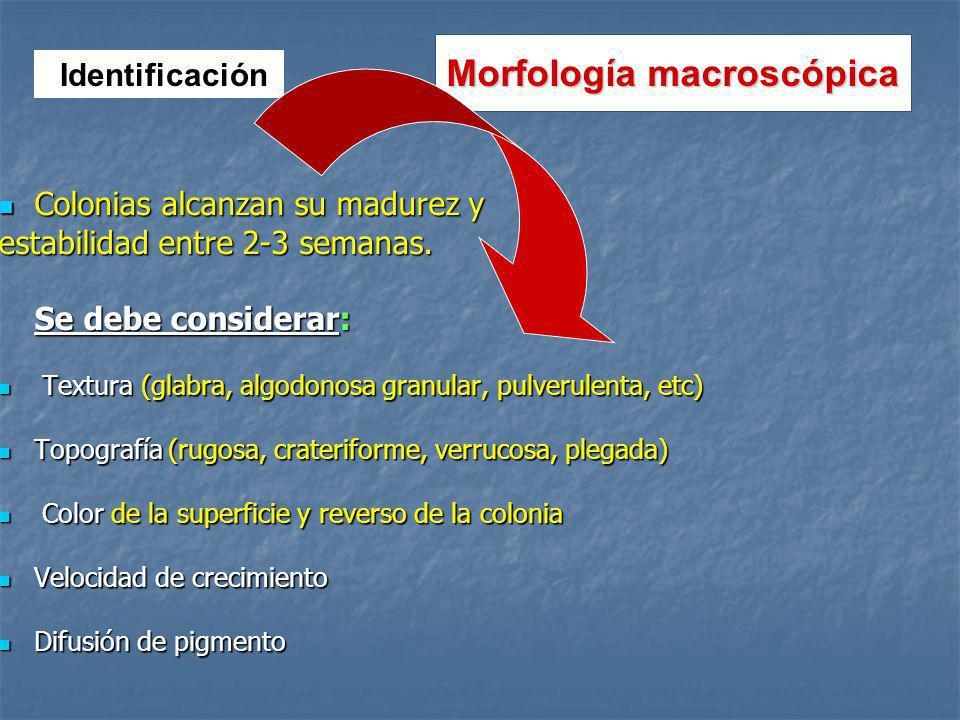 Morfología macroscópica Colonias alcanzan su madurez y Colonias alcanzan su madurez y estabilidad entre 2-3 semanas.