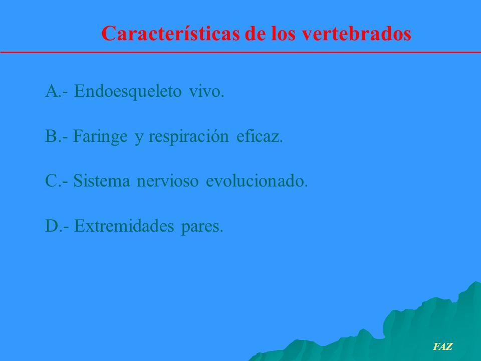 A.- Endoesqueleto vivo. B.- Faringe y respiración eficaz. C.- Sistema nervioso evolucionado. D.- Extremidades pares. Características de los vertebrado