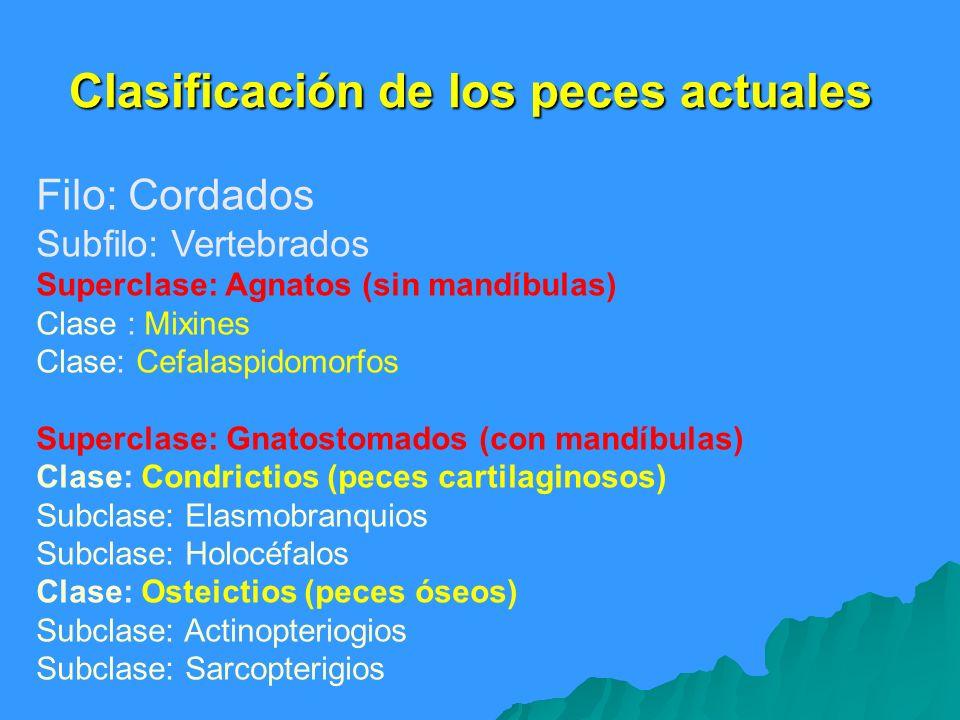 Clasificación de los peces actuales Filo: Cordados Subfilo: Vertebrados Superclase: Agnatos (sin mandíbulas) Clase : Mixines Clase: Cefalaspidomorfos