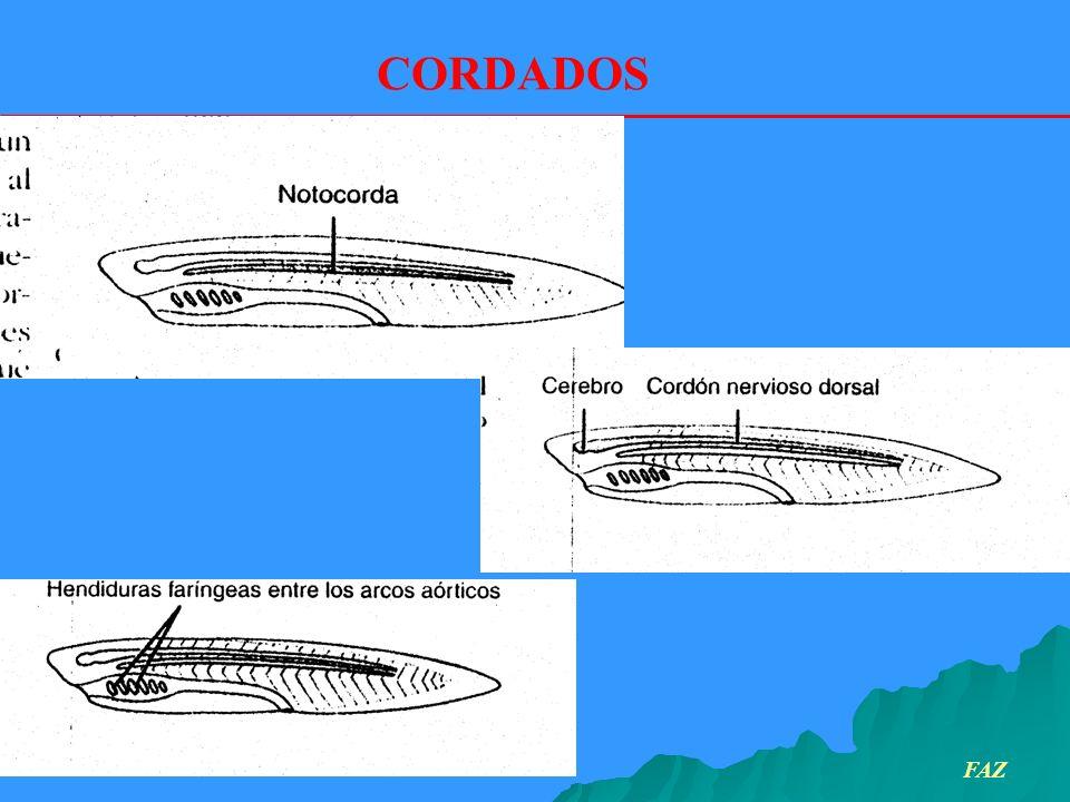 Los elasmobranquios presentan piel con escamas placoideas.