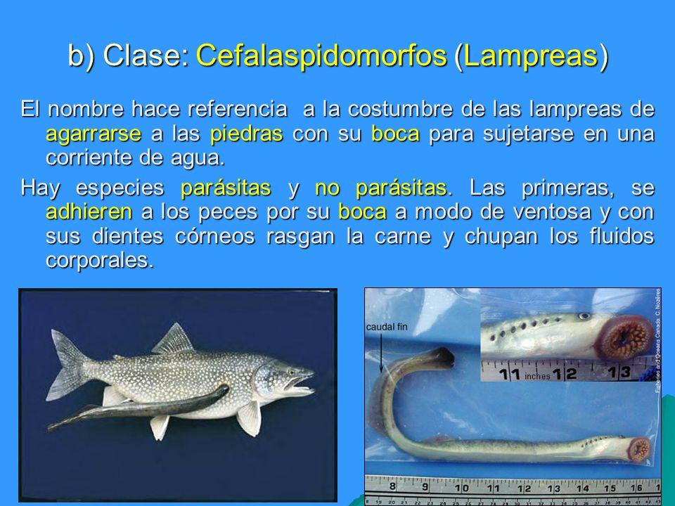 b) Clase: Cefalaspidomorfos (Lampreas) El nombre hace referencia a la costumbre de las lampreas de agarrarse a las piedras con su boca para sujetarse