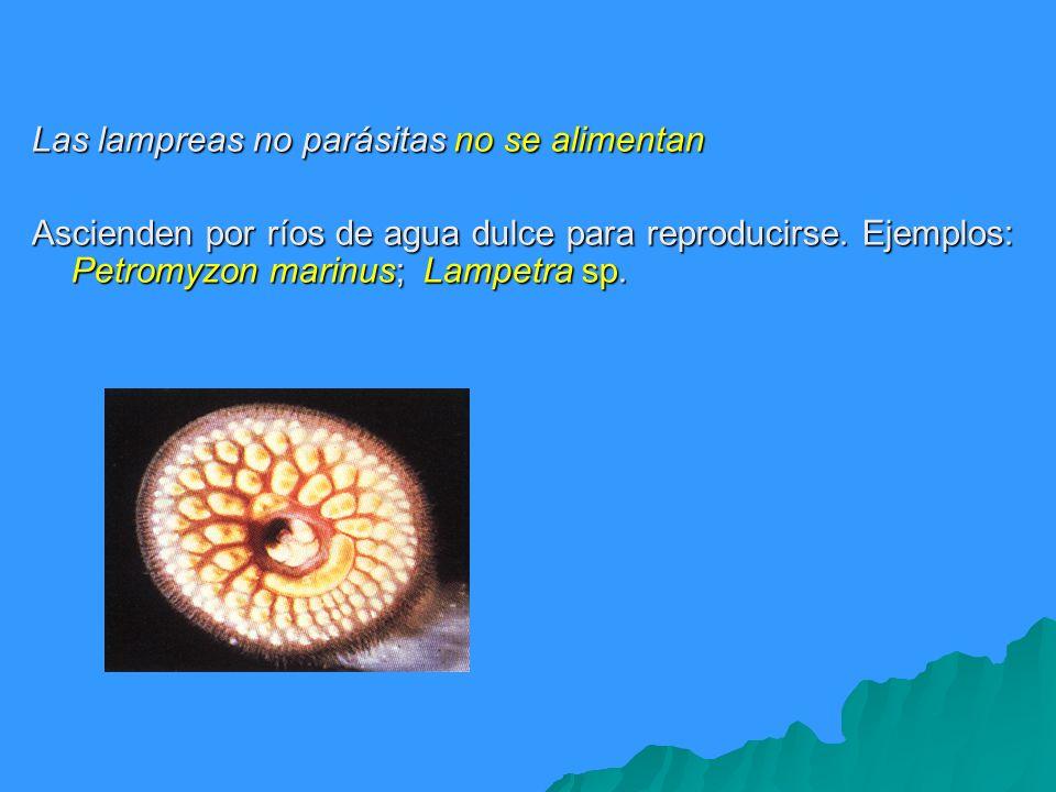 Las lampreas no parásitas no se alimentan Ascienden por ríos de agua dulce para reproducirse. Ejemplos: Petromyzon marinus; Lampetra sp.