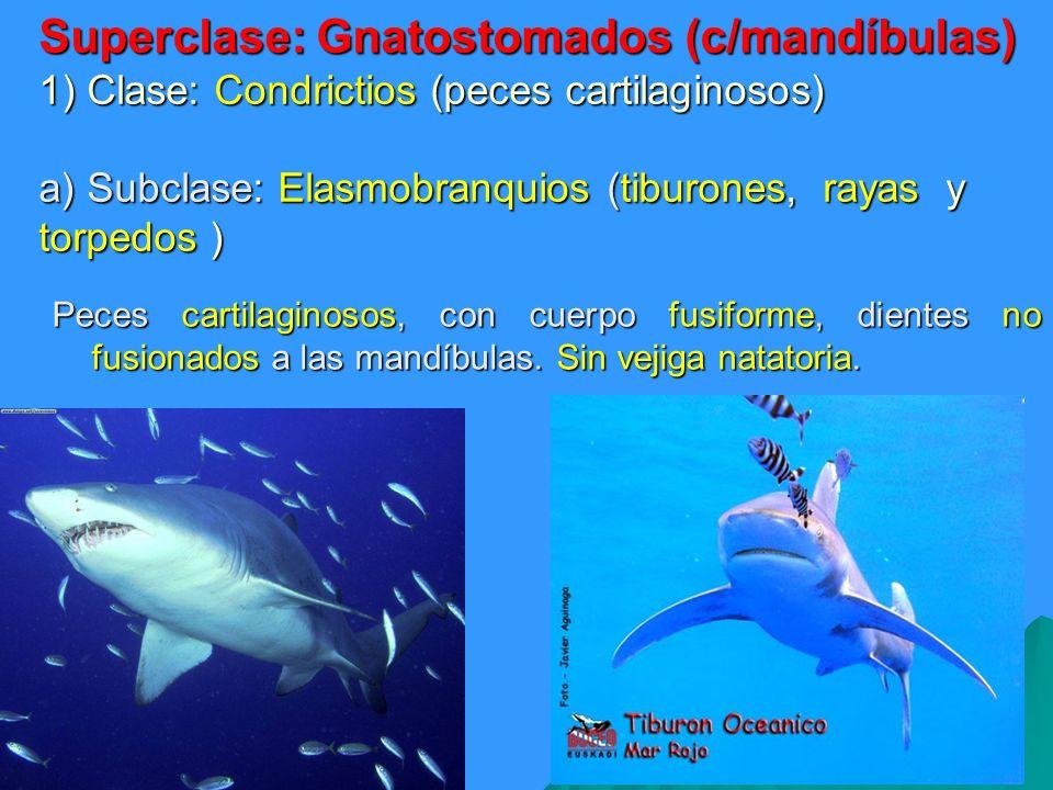 Superclase: Gnatostomados (c/mandíbulas) 1) Clase: Condrictios (peces cartilaginosos) a) Subclase: Elasmobranquios (tiburones, rayas y torpedos ) Pece