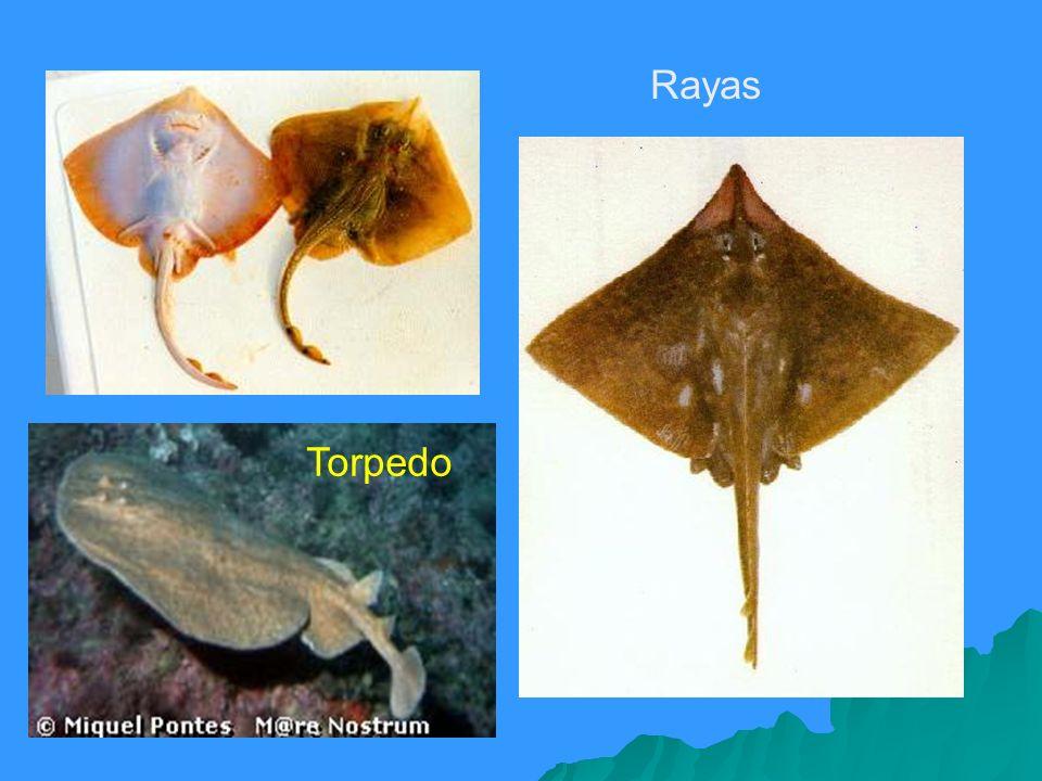 Torpedo Rayas