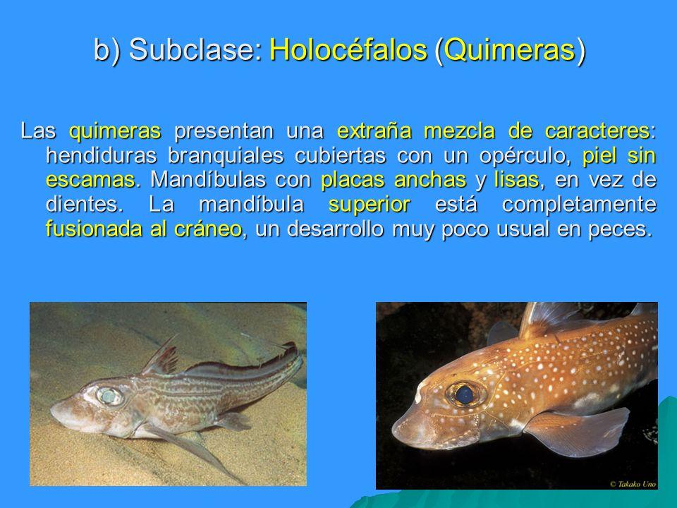 b) Subclase: Holocéfalos (Quimeras) Las quimeras presentan una extraña mezcla de caracteres: hendiduras branquiales cubiertas con un opérculo, piel si