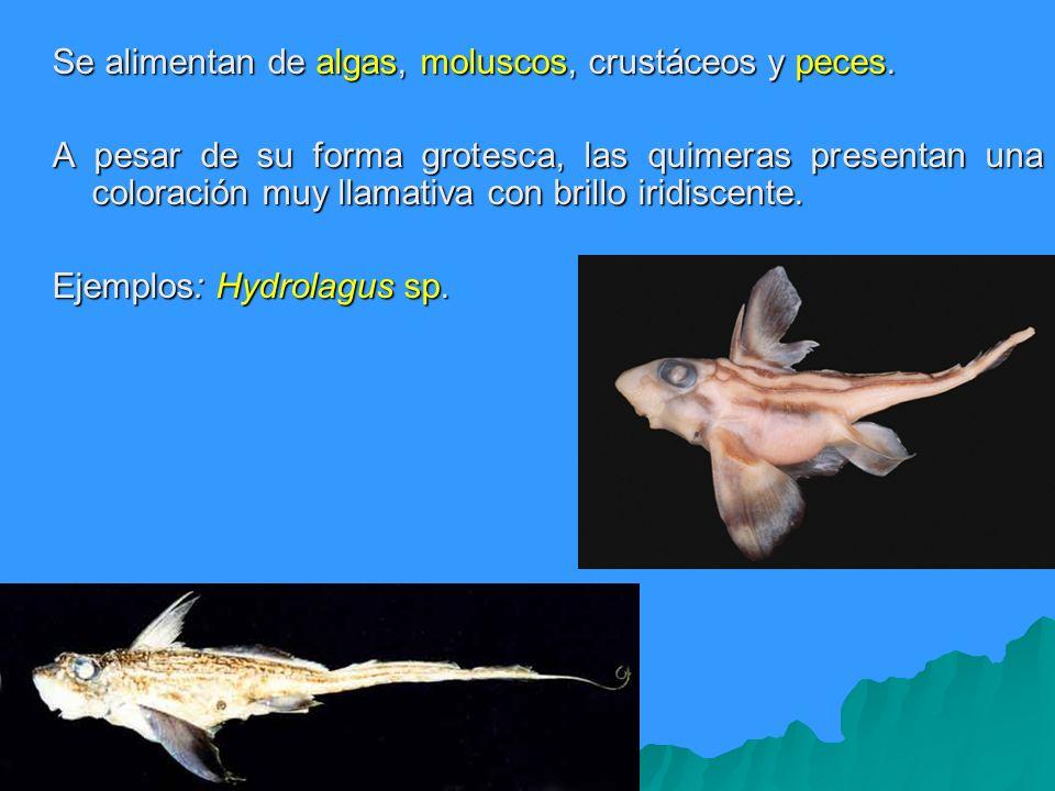 Se alimentan de algas, moluscos, crustáceos y peces. A pesar de su forma grotesca, las quimeras presentan una coloración muy llamativa con brillo irid