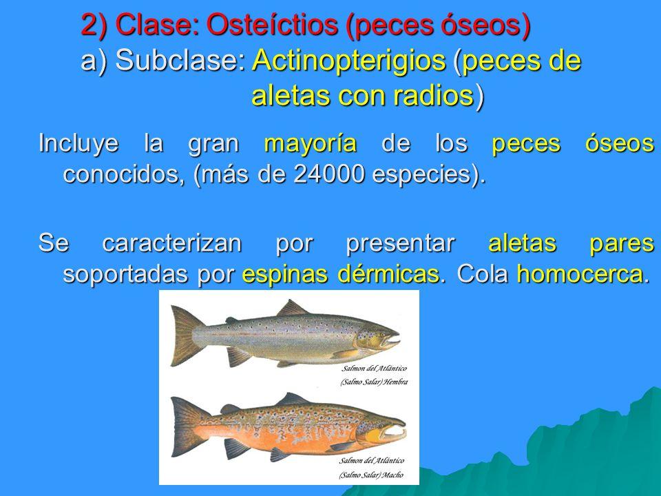 Incluye la gran mayoría de los peces óseos conocidos, (más de 24000 especies). Se caracterizan por presentar aletas pares soportadas por espinas dérmi