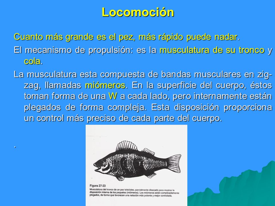 Locomoción Cuanto más grande es el pez, más rápido puede nadar. El mecanismo de propulsión: es la musculatura de su tronco y cola. La musculatura esta