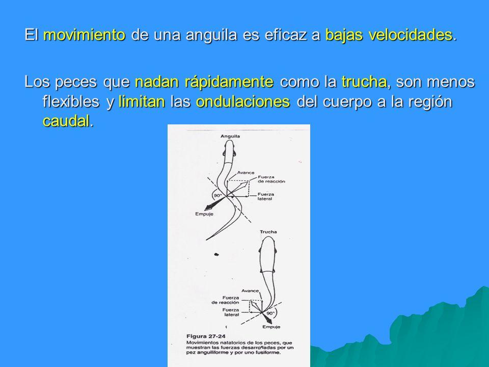 El movimiento de una anguila es eficaz a bajas velocidades. Los peces que nadan rápidamente como la trucha, son menos flexibles y limitan las ondulaci
