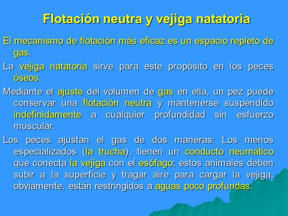 Flotación neutra y vejiga natatoria El mecanismo de flotación más eficaz es un espacio repleto de gas. La vejiga natatoria sirve para este propósito e