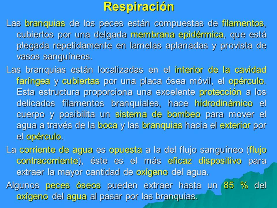 Respiración Las branquias de los peces están compuestas de filamentos, cubiertos por una delgada membrana epidérmica, que está plegada repetidamente e