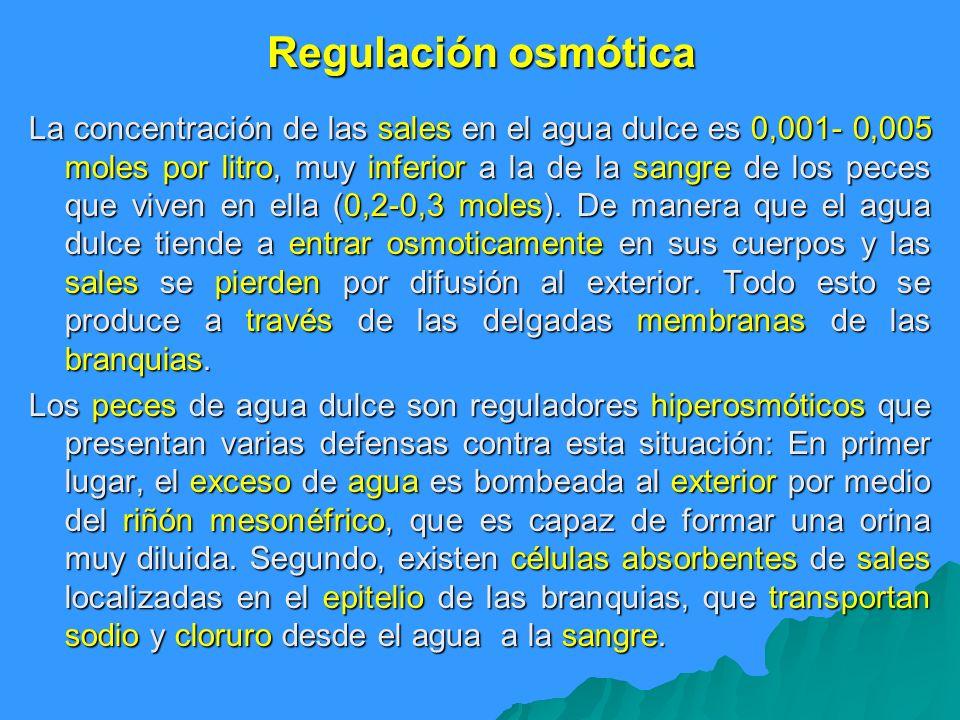 Regulación osmótica La concentración de las sales en el agua dulce es 0,001- 0,005 moles por litro, muy inferior a la de la sangre de los peces que vi