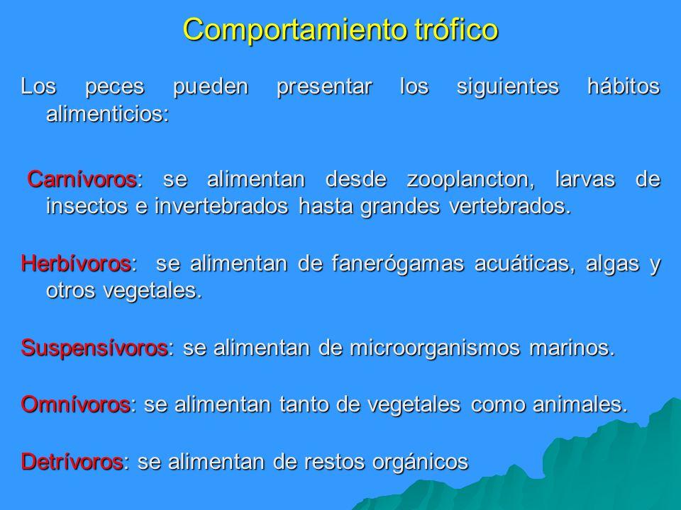 Comportamiento trófico Los peces pueden presentar los siguientes hábitos alimenticios: Carnívoros: se alimentan desde zooplancton, larvas de insectos