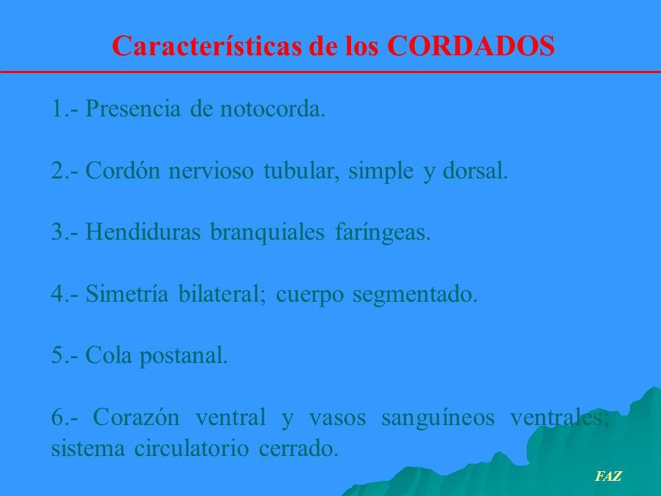 1.- Presencia de notocorda. 2.- Cordón nervioso tubular, simple y dorsal. 3.- Hendiduras branquiales faríngeas. 4.- Simetría bilateral; cuerpo segment