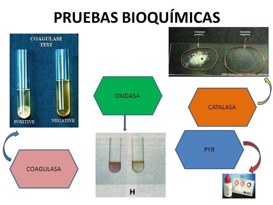 PRUEBAS BIOQUÍMICAS COAGULASA OXIDASA CATALASA PYR