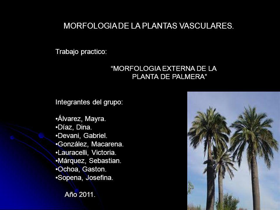 MORFOLOGIA DE LA PLANTAS VASCULARES. Trabajo practico: MORFOLOGIA EXTERNA DE LA PLANTA DE PALMERA Integrantes del grupo: Álvarez, Mayra. Díaz, Dina. D