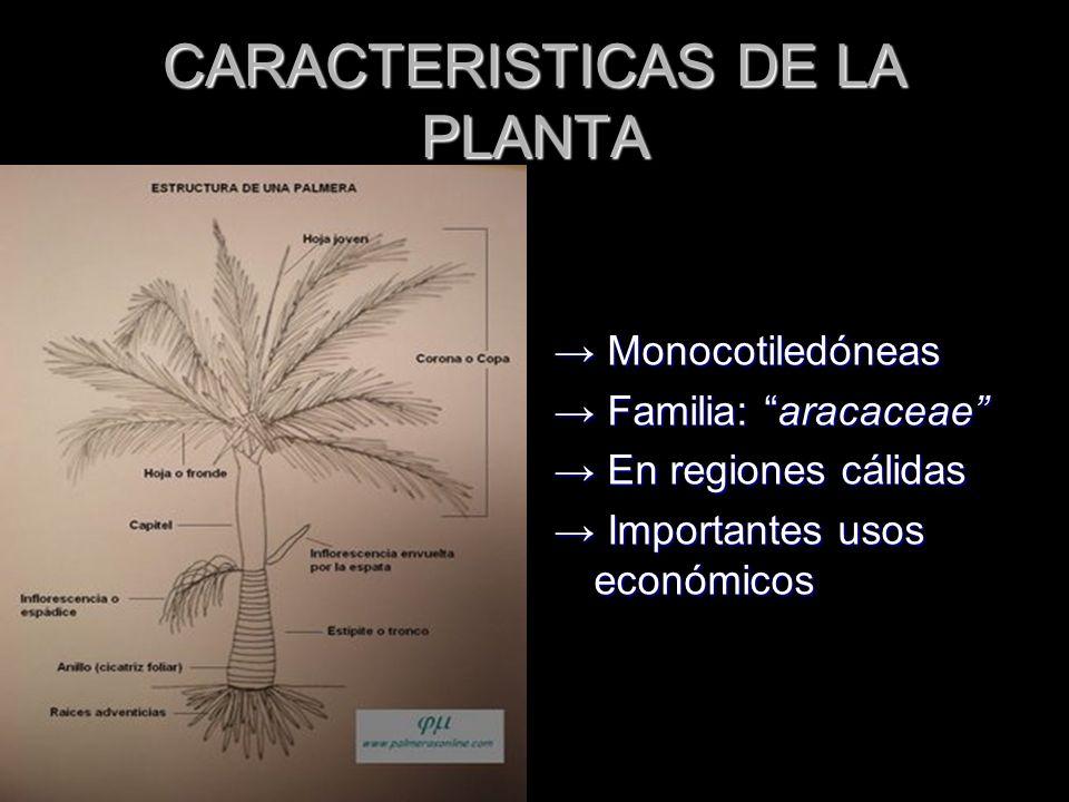 CARACTERISTICAS DE LA PLANTA Monocotiledóneas Monocotiledóneas Familia: aracaceae Familia: aracaceae En regiones cálidas En regiones cálidas Important