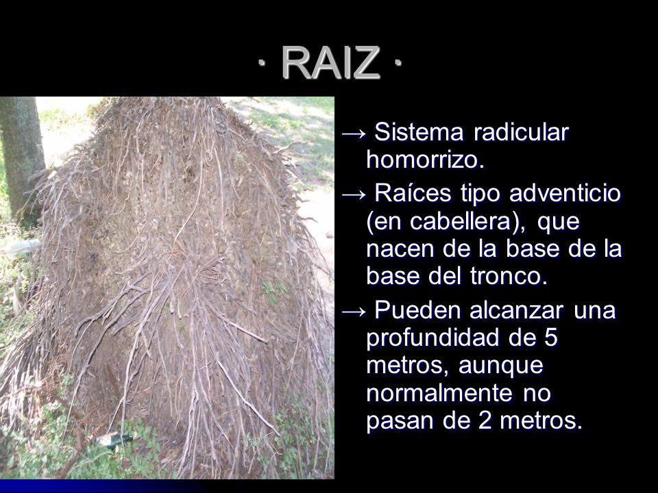 Raíces adventicias, todas de igual diámetro y longitud desarrolladas desde el tronco.