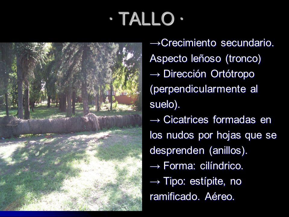 · TALLO · Crecimiento secundario. Crecimiento secundario. Aspecto leñoso (tronco) Dirección Ortótropo Dirección Ortótropo (perpendicularmente al suelo